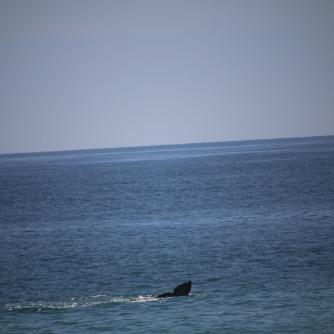 gray whale fluke