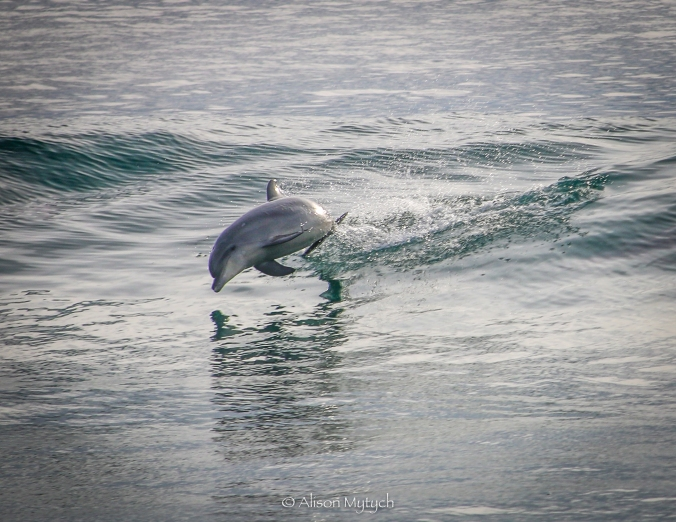 2017-02-02-malibu-dolphin-in-surf