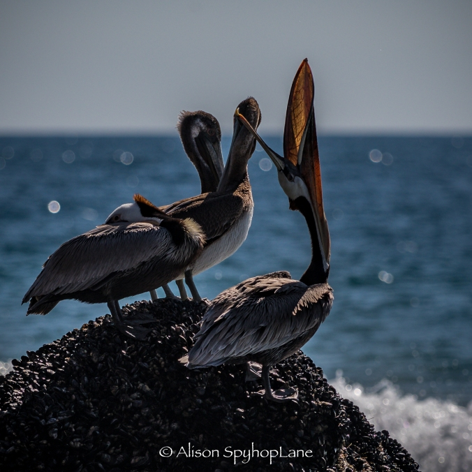 2018-02-25-pelicans-breeding-colors-pt-dume-2750