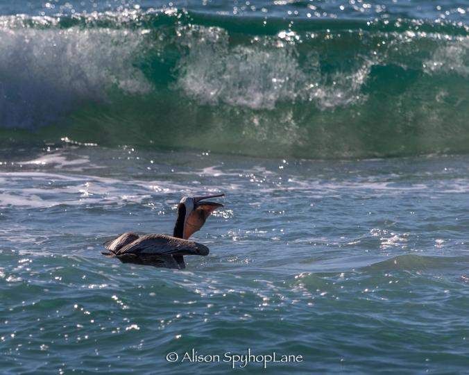 2018-02-25-pelicans-feeding-pt-dume-2766