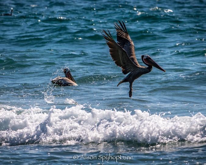 2018-02-25-pelicans-pt-dume-2763