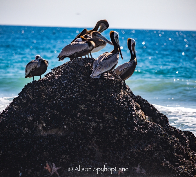 2018-02-25-pelicans-starfish-pt-dume-2740