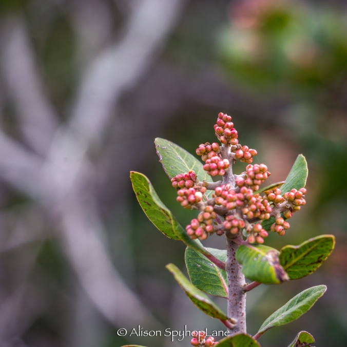 2018-03-07-lemon-berry-plant-2-pt-dume-3668