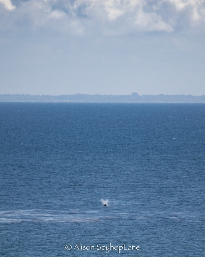 2018-03-14-gray-whale-big-dume-cove-pt-dume-5785