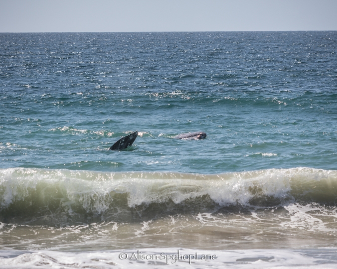2018-03-14-two-gray-whales-in-surf-pt-dume-5923