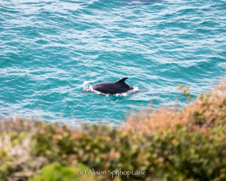 2018-03-18-dolphin-sea-lion-cove-pt-dume-7565