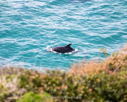 2018-03-18-dolphin-sea-lion-cove-pt-dume-7565