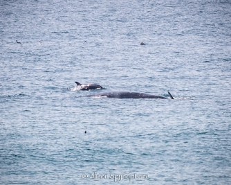 2018-03-18-dolphins-interact-gray-whales-pt-dume-7724