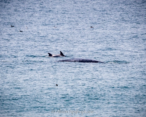 2018-03-18-dolphins-interact-gray-whales-pt-dume-7725