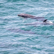 2018-03-18-dolphins-pt-dume-7545