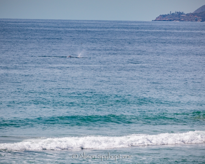 2018-03-18-two-gray-whales-pt-dume-7692