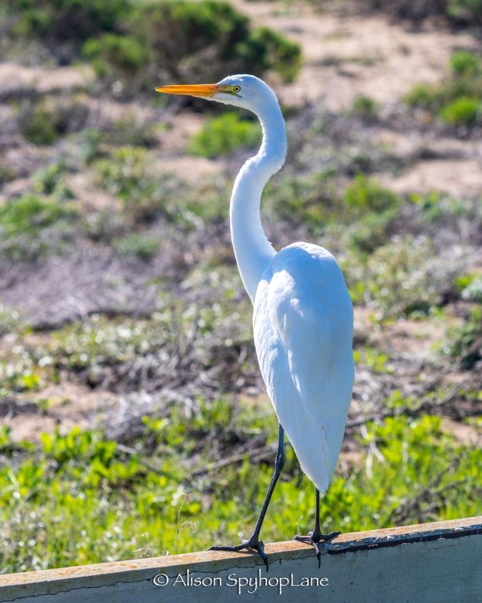 2018-03-17-egret-on-fence-pt-dume-7093