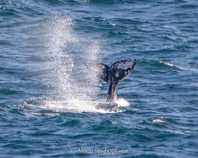 2018-03-17-gray-whales-fluke-blow-mating-pt-dume-7364