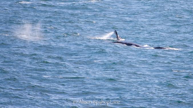 2018-03-17-three-gray-whales-pod-pt-dume-7208