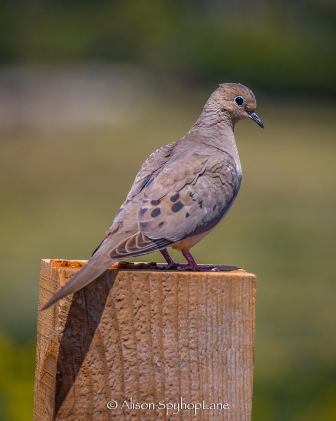 2018-04-18-mourning-dove-pt-dume-7020