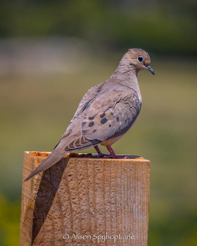 2018-04-18-mourning-dove-pt-dume-7020