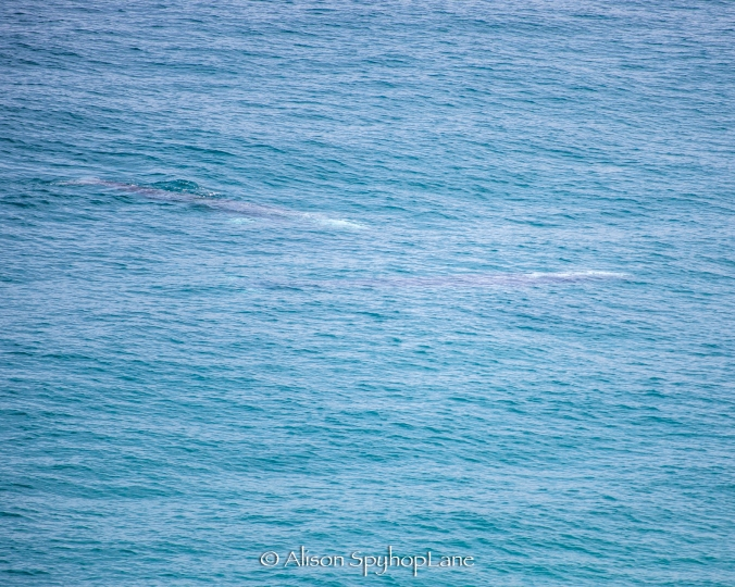 2018-04-18-two-gray-whales-pt-dume-6955