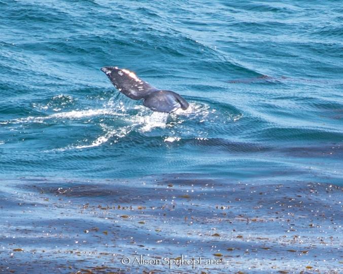 2018-04-20-gray-whale-fluke-pt-dume-7172