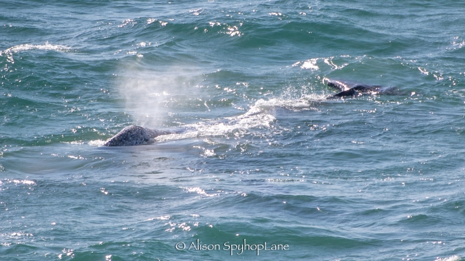 2018-04-20-gray-whale-pt-dume-7343