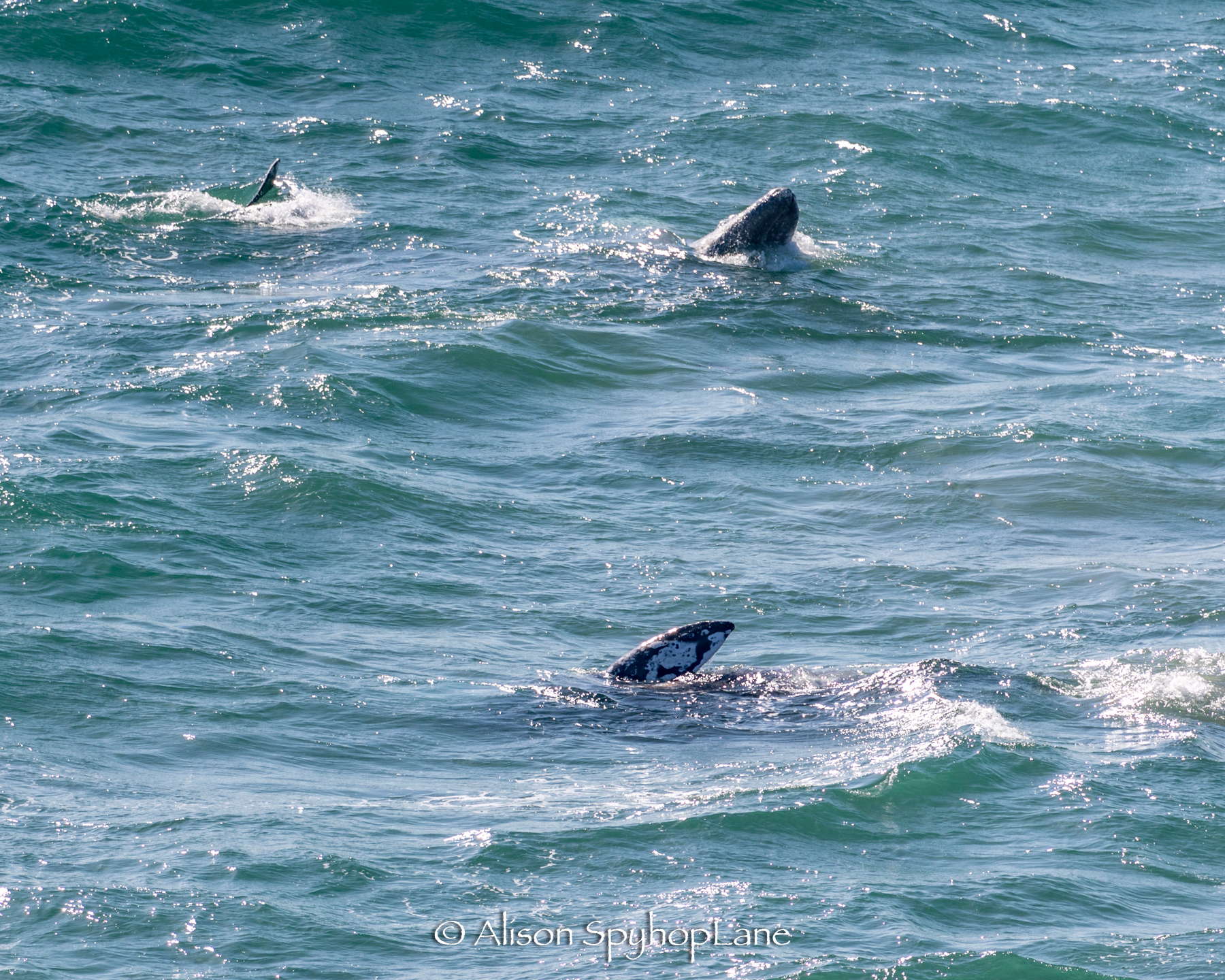 2018-04-20-two-gray-whale-pt-dume-7351